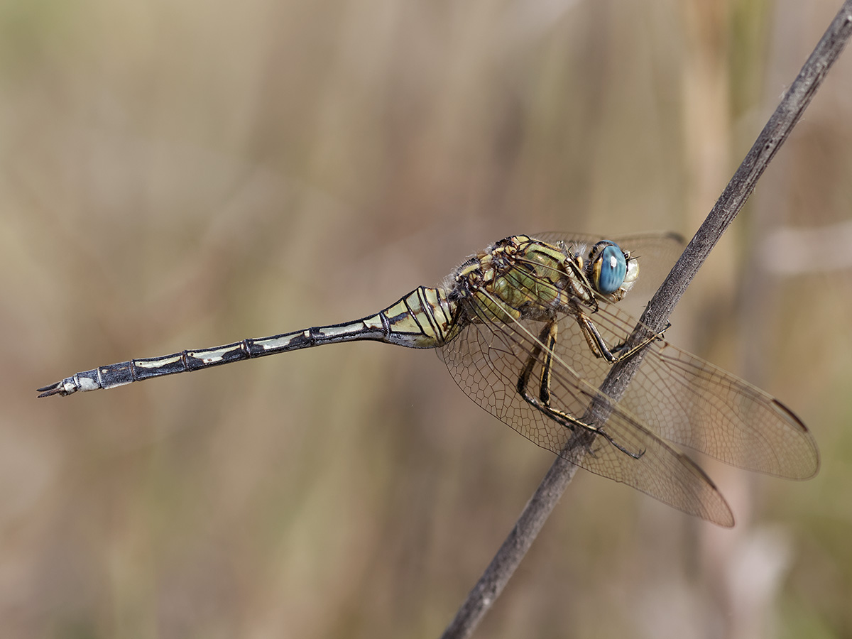 Orthetrum trinacria, female
