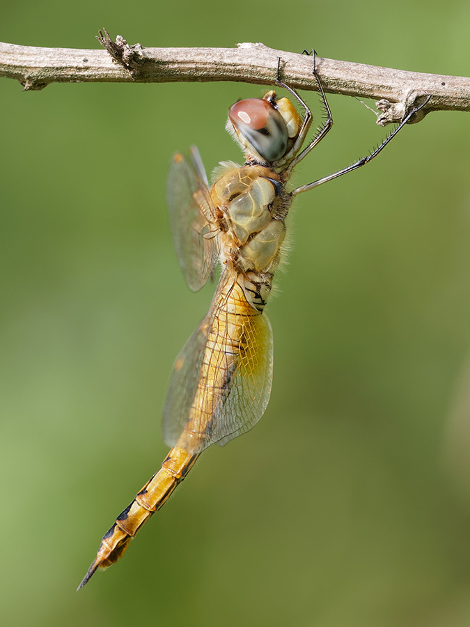 Pantala flavescens, female