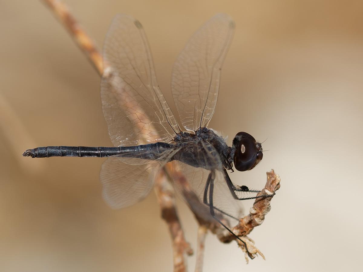 Selysiothemis nigra - Black Pennant