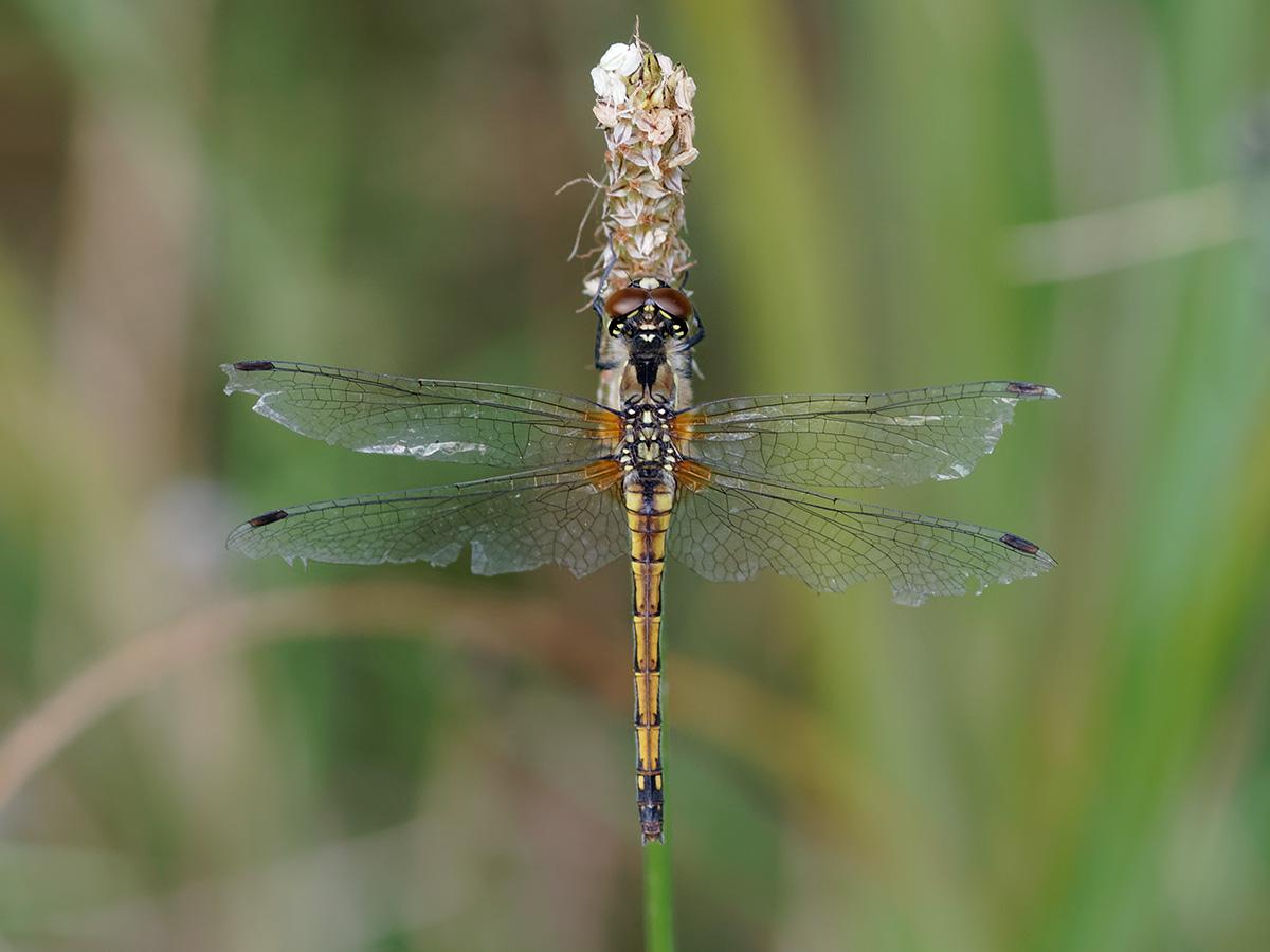 Sympetrum danae, female