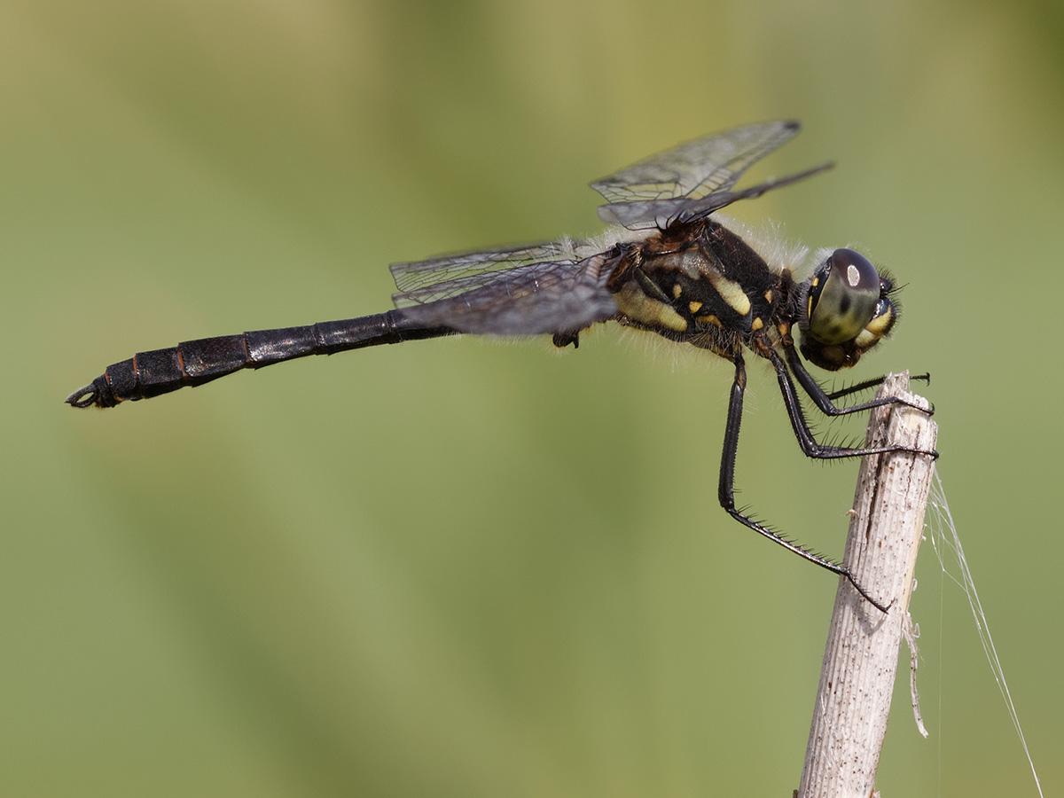Sympetrum danae, male