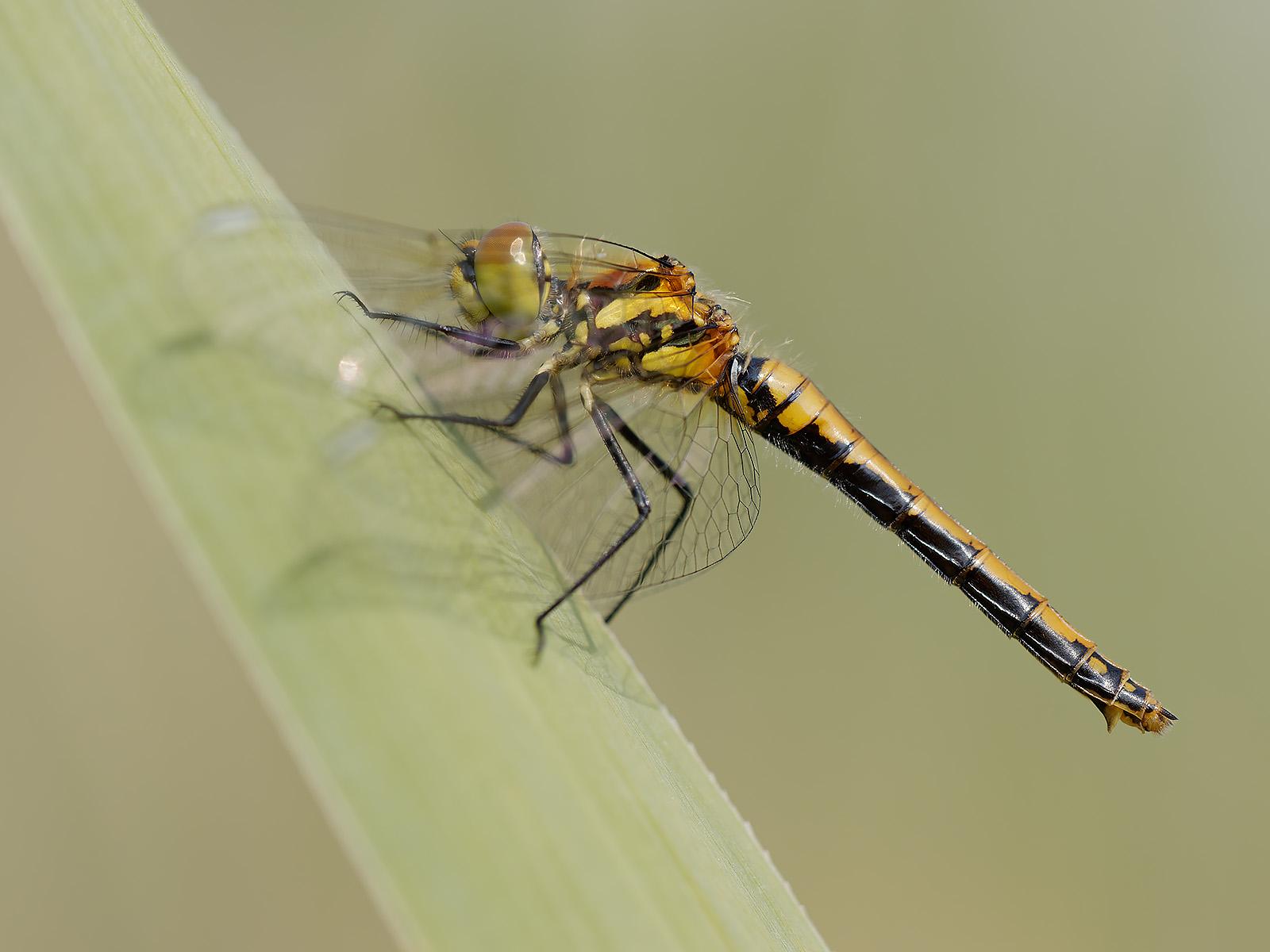 Sympetrum danae, immature female