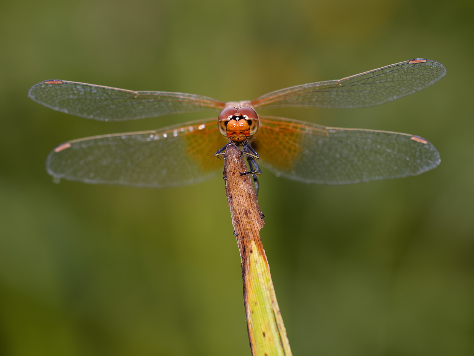 Sympetrum flaveolum, male