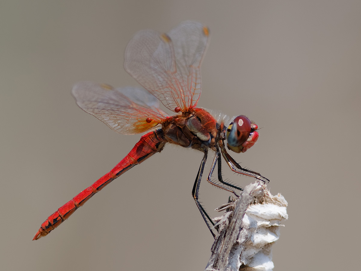 Sympetrum fonscolombii, male with mites