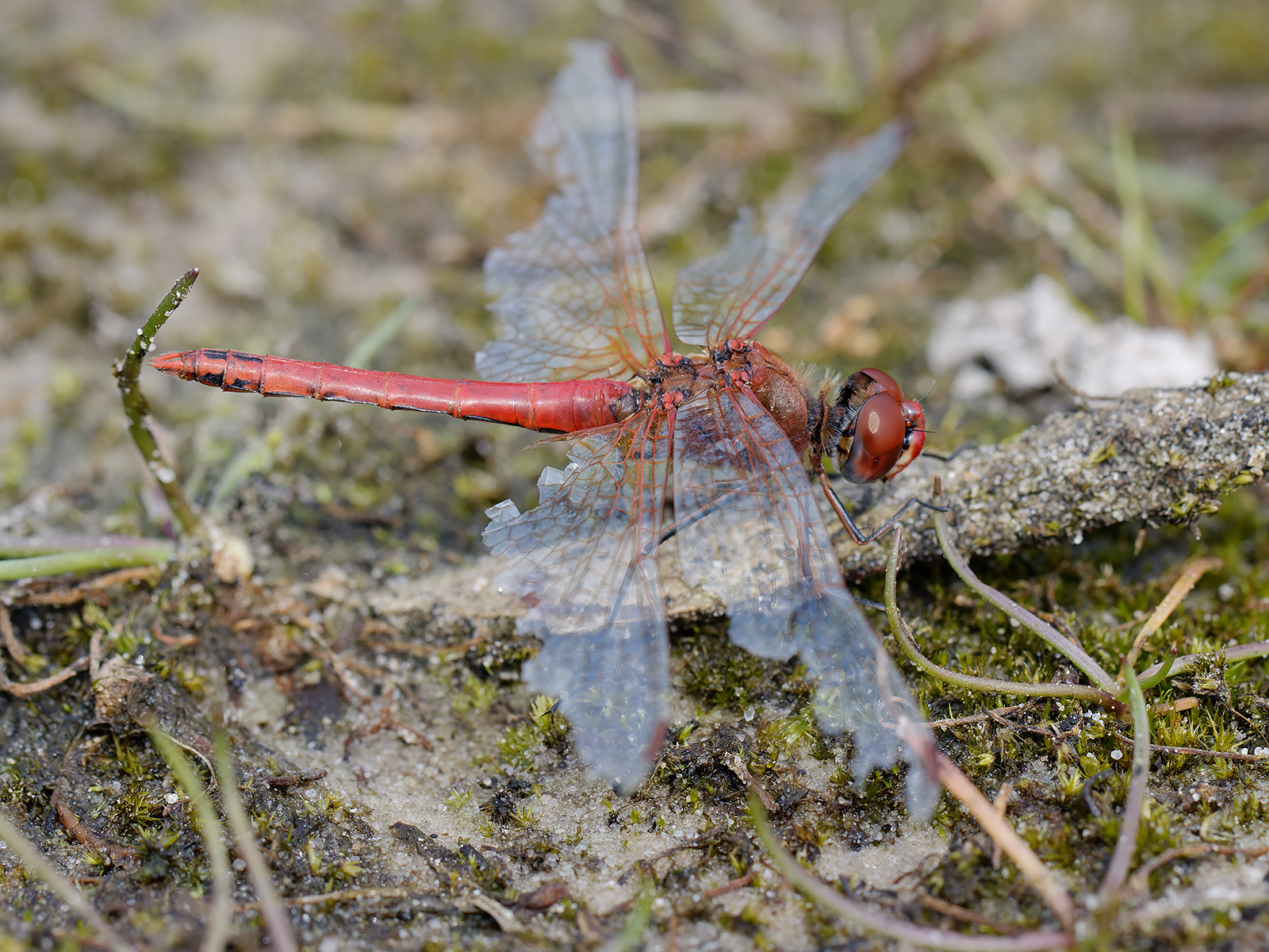 Sympetrum fonscolombii, old male