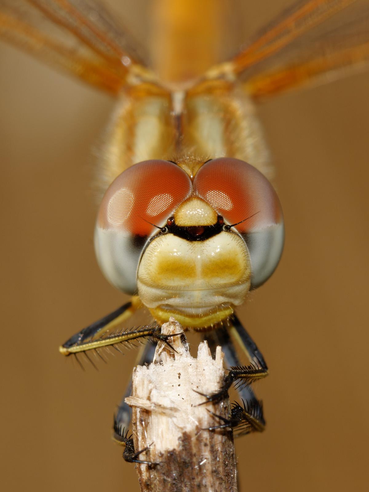 Sympetrum fonscolombii, immature male