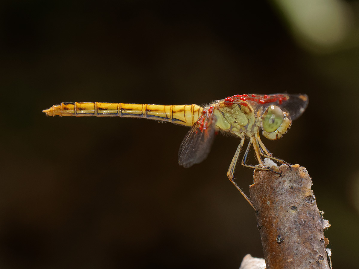 Sympetrum meridionale, fresh female with mites
