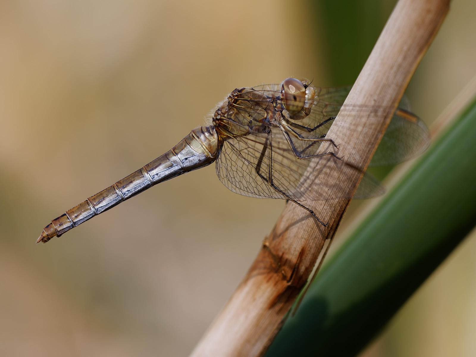 Sympetrum meridionale, female