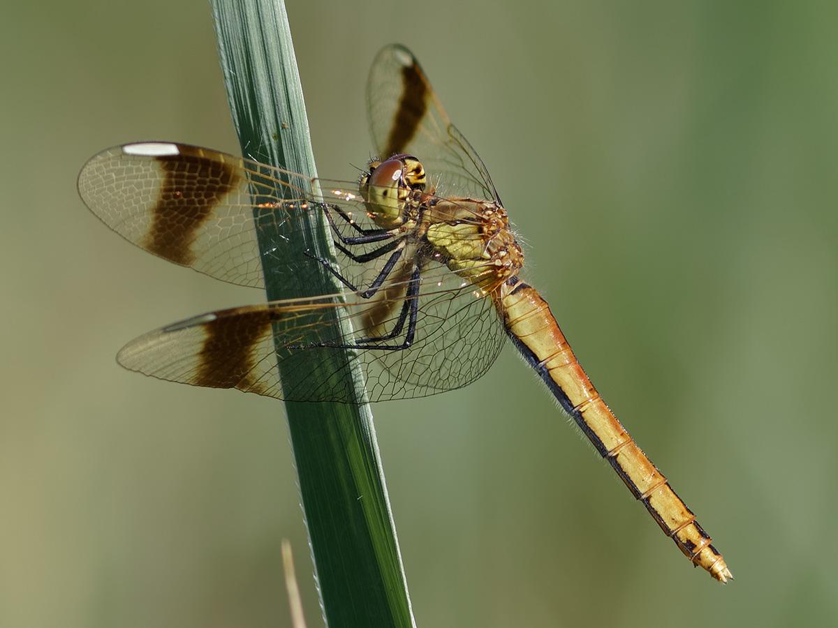 Sympetrum pedemontanum, female