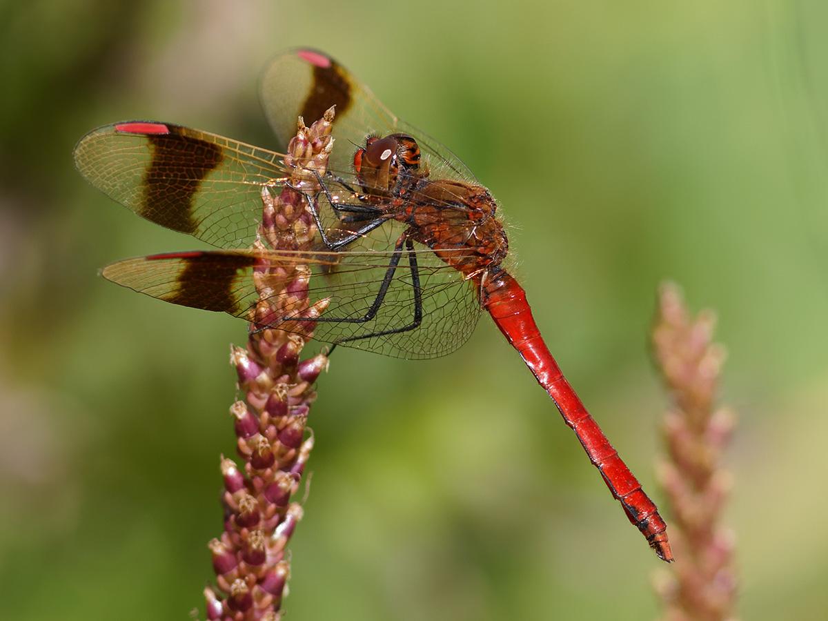 Sympetrum pedemontanum, male