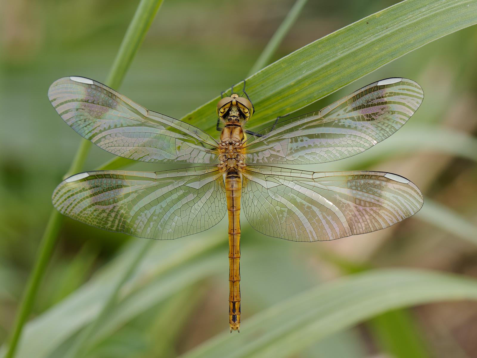 Sympetrum pedemontanum, teneral female