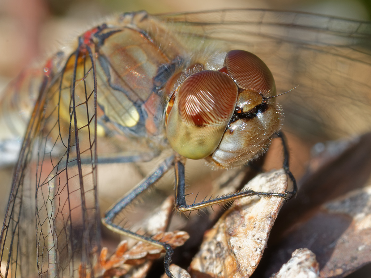 Sympetrum striolatum, female