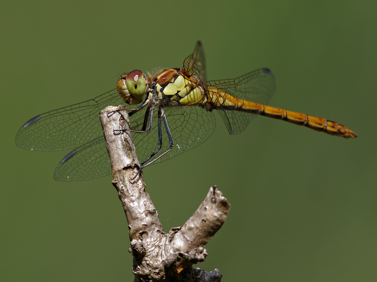 Sympetrum striolatum, immature male