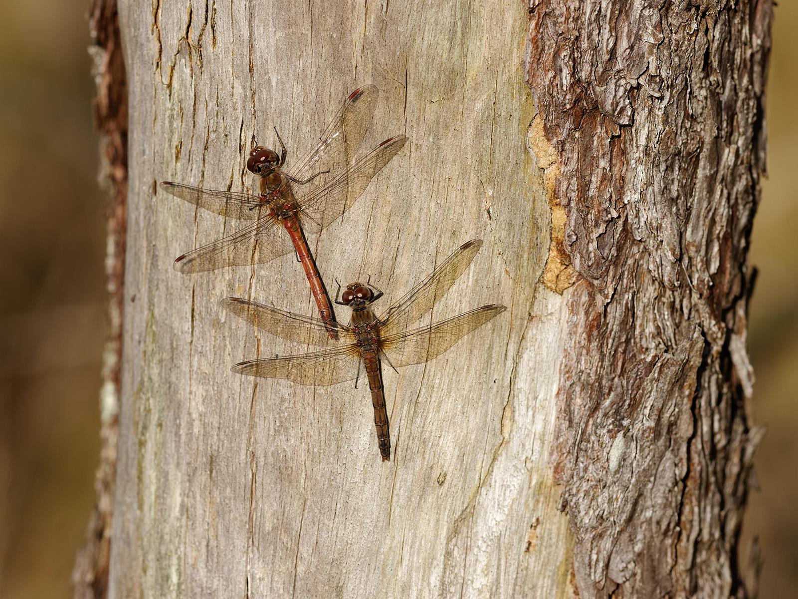 Sympetrum striolatum, male and female