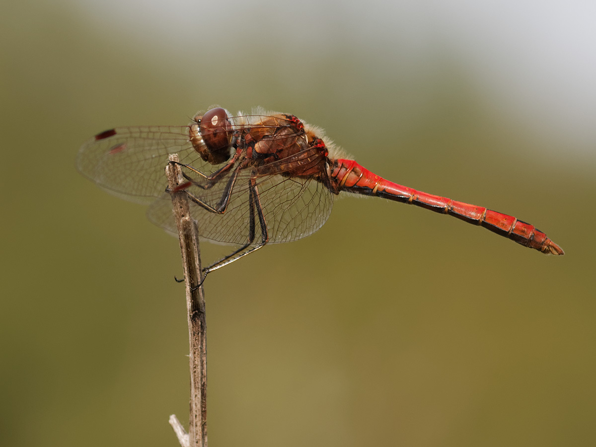 Sympetrum vulgatum, male