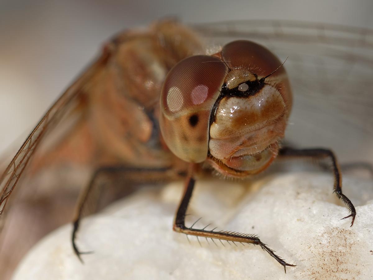 Sympetrum vulgatum, female