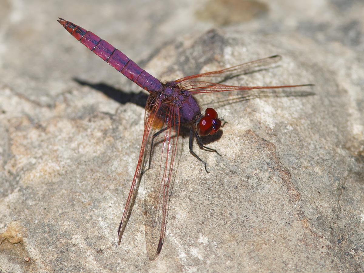 Trithemis annulata, male