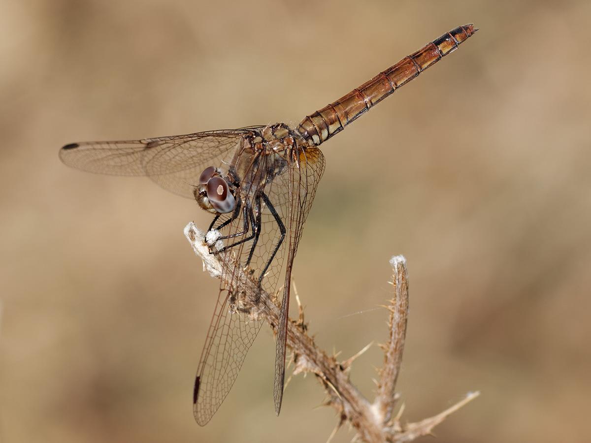 Trithemis annulata, female