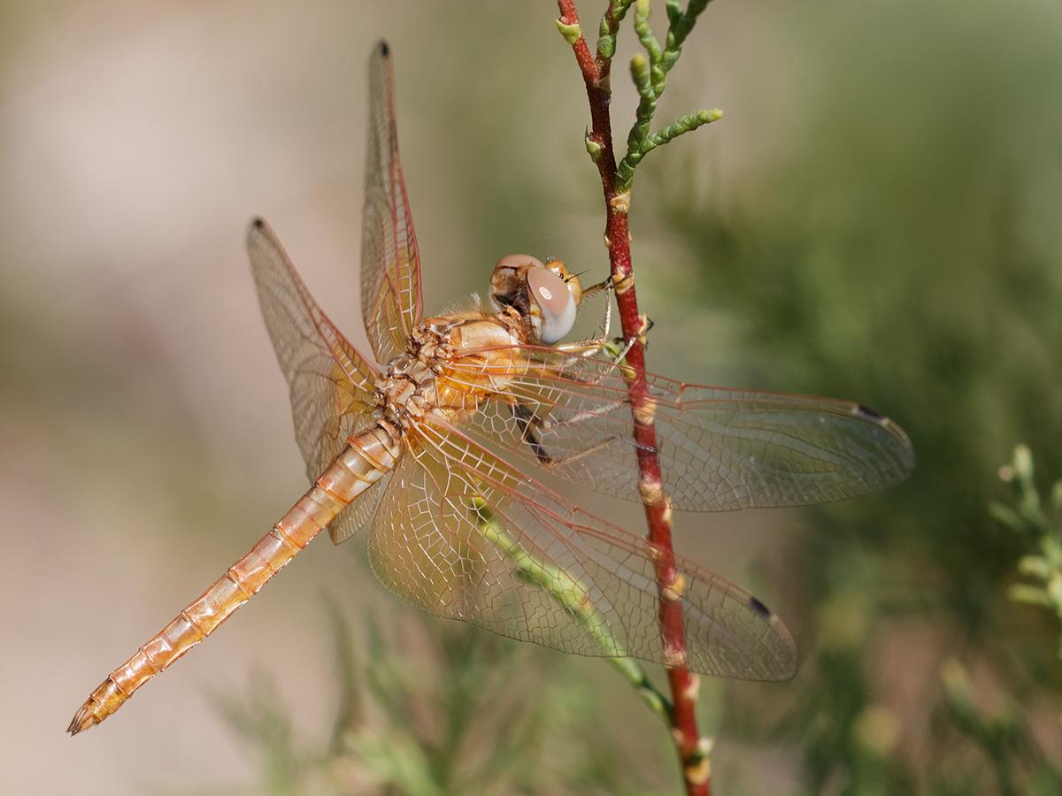 Trithemis kirbyi, teneral male