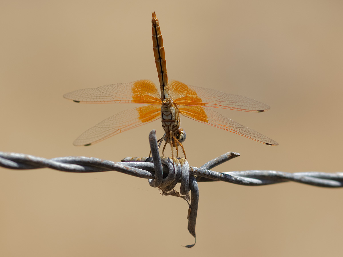 Trithemis kirbyi, immature male