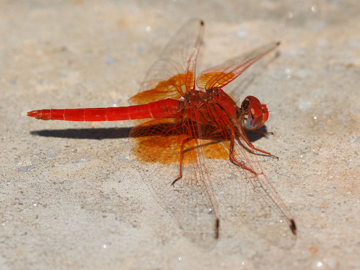 Trithemis kirbyi, male
