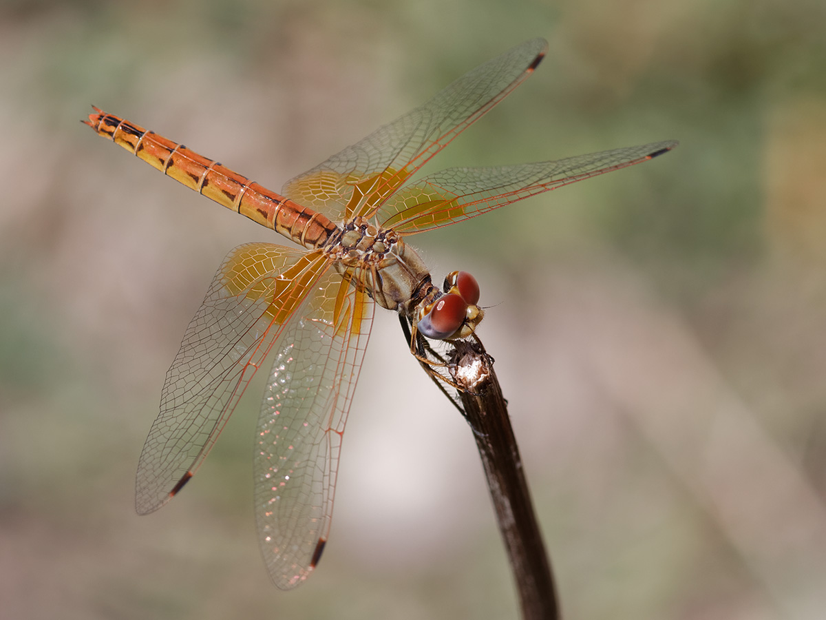 Trithemis kirbyi, female