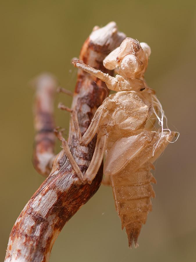Zygonyx torridus, exuviae