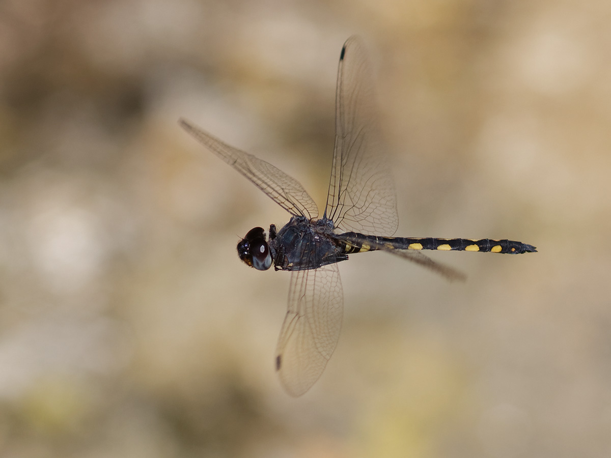 Zygonyx torridus, male