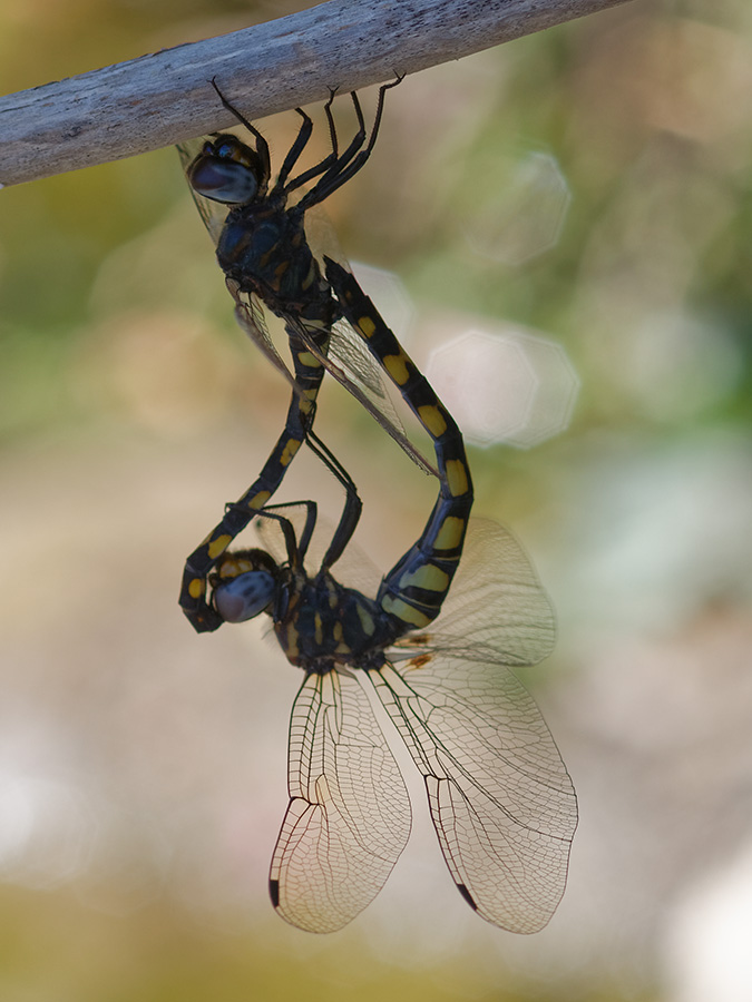 Zygonyx torridus, copula