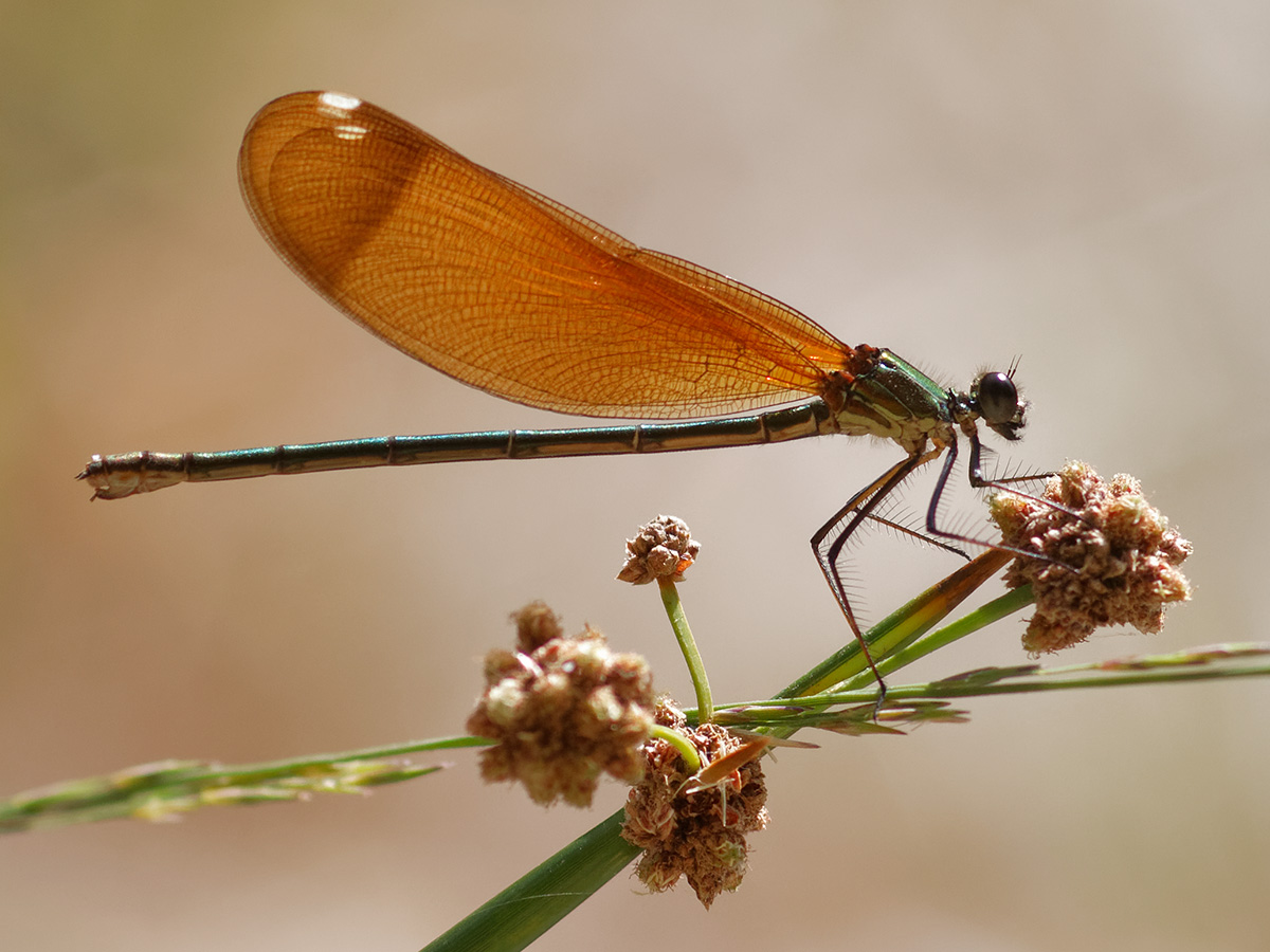 Calopteryx haemorrhoidalis, female
