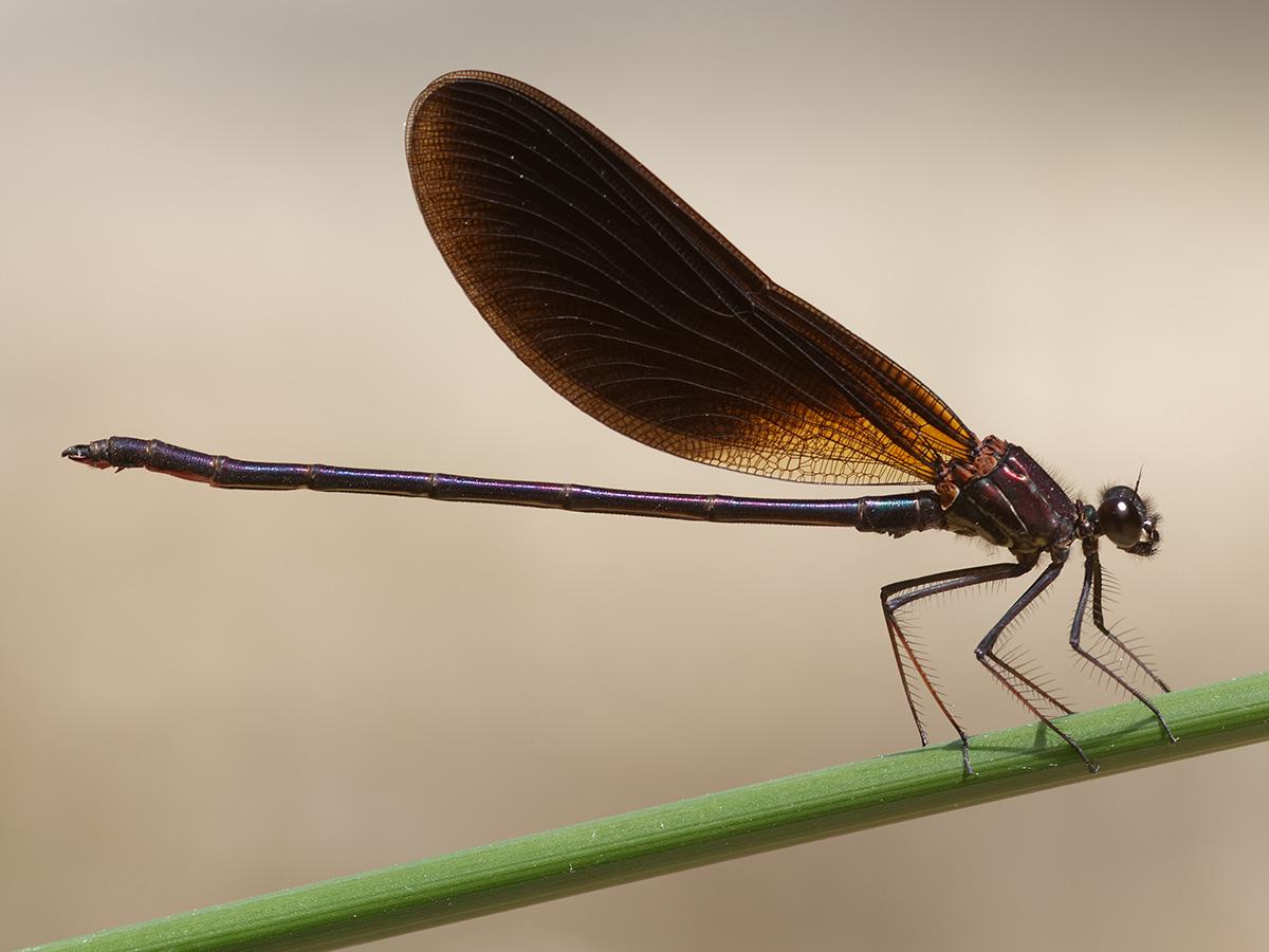 Calopteryx haemorrhoidalis, male