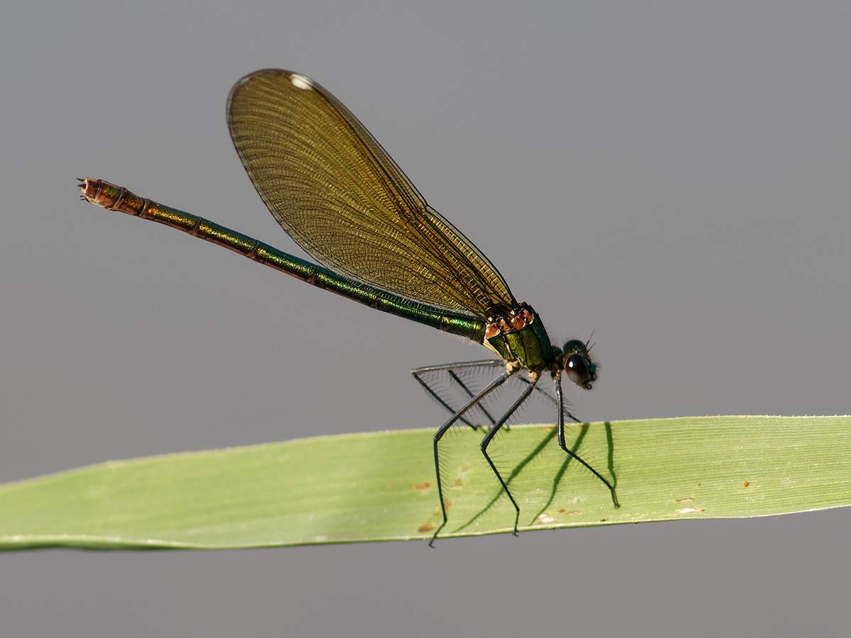 Calopteryx s. balcanica, female
