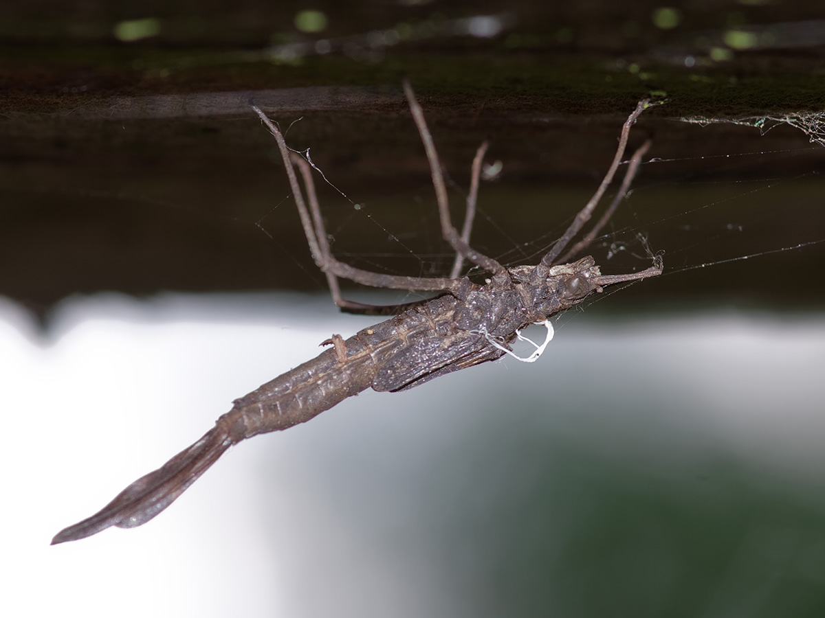 Calopteryx s. splendens, exuviae