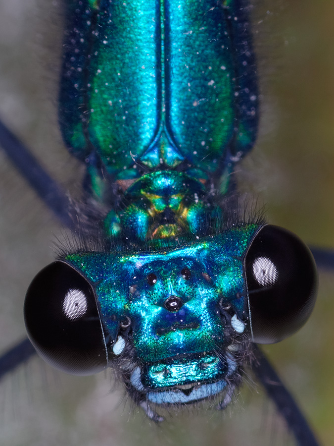 Calopteryx s. ancilla, male