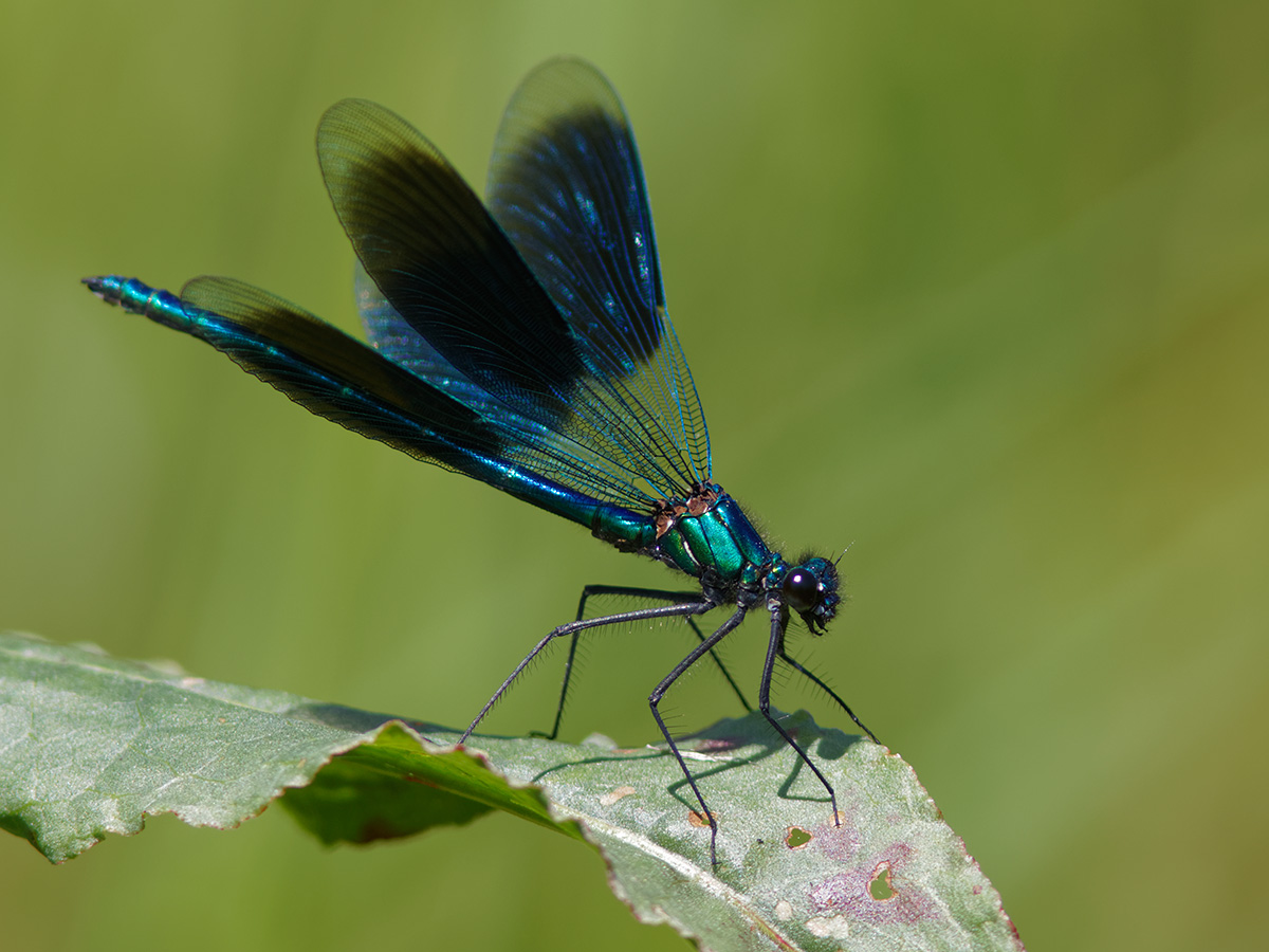 Calopteryx s. splendens, male