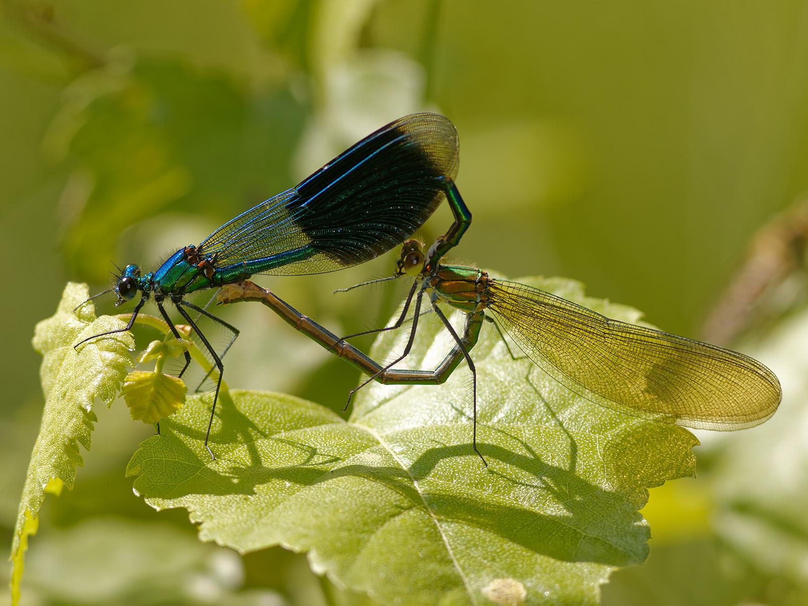Calopteryx s. splendens, copula