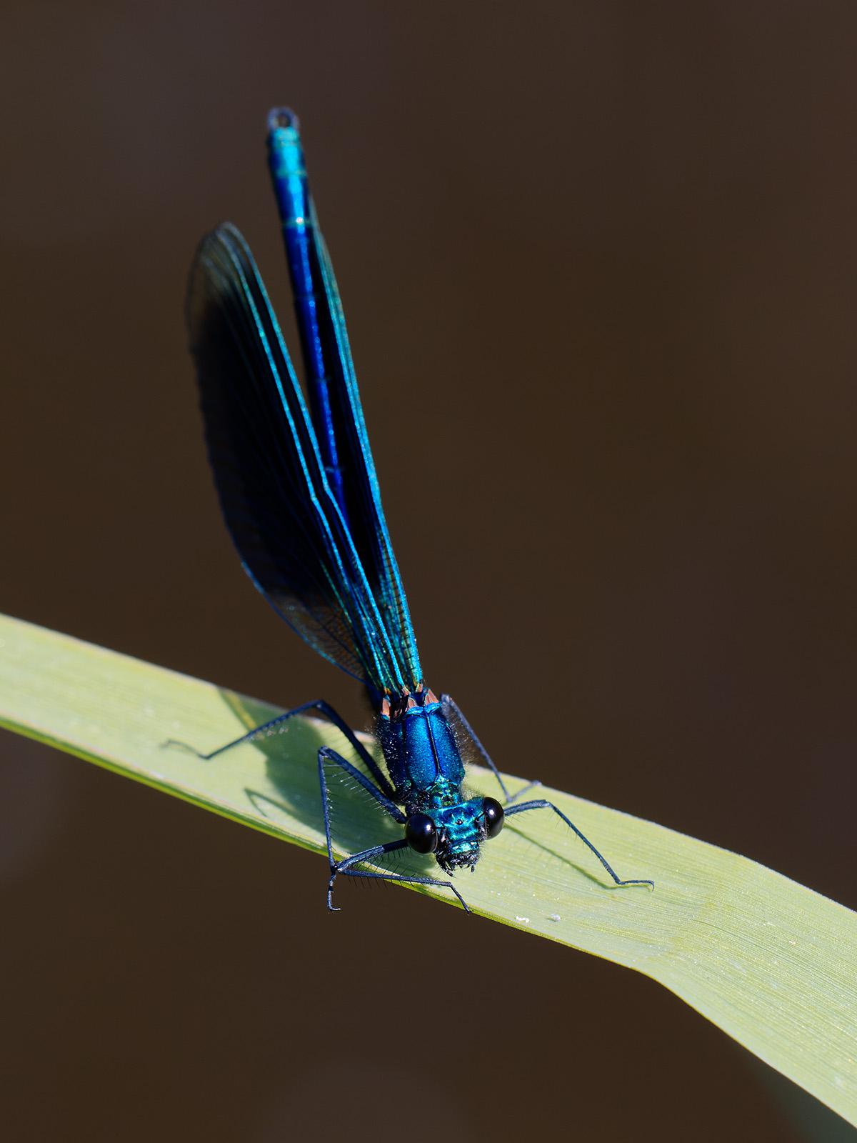 Calopteryx s. splendens, male