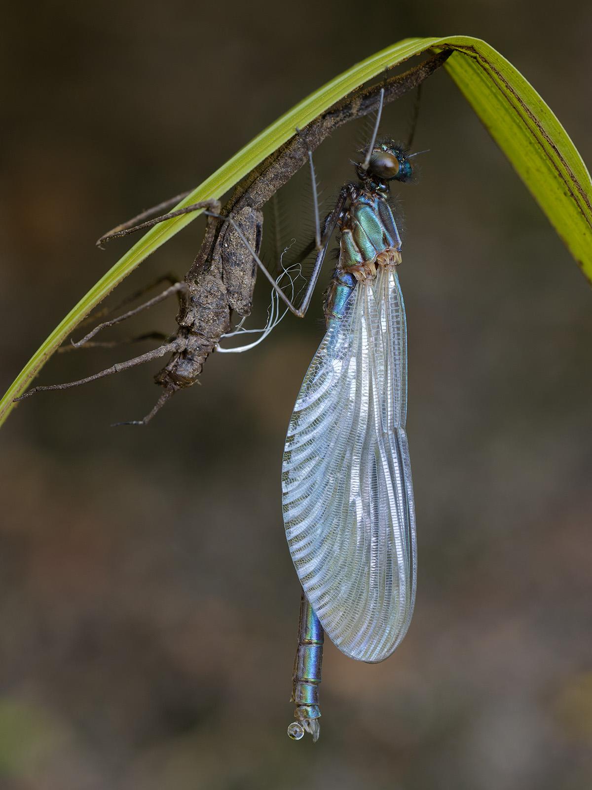 Calopteryx s. splendens, male emerging