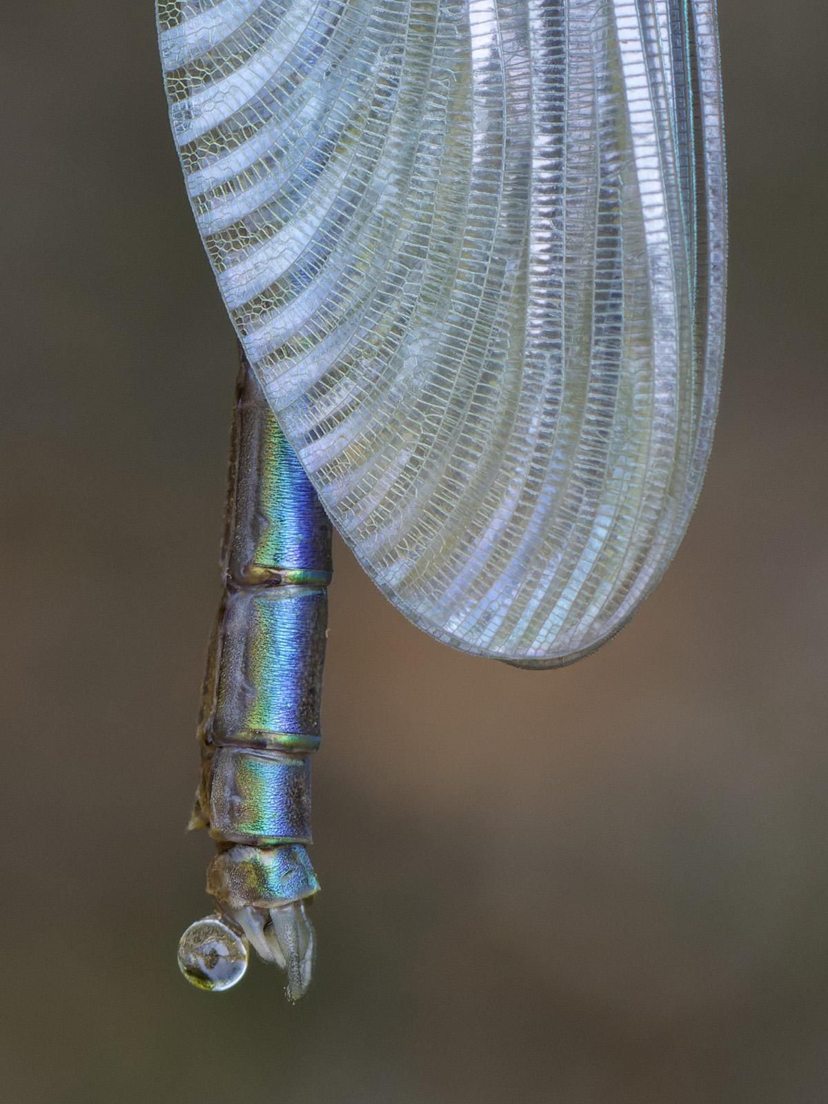 Calopteryx s. splendens, male emerging detail