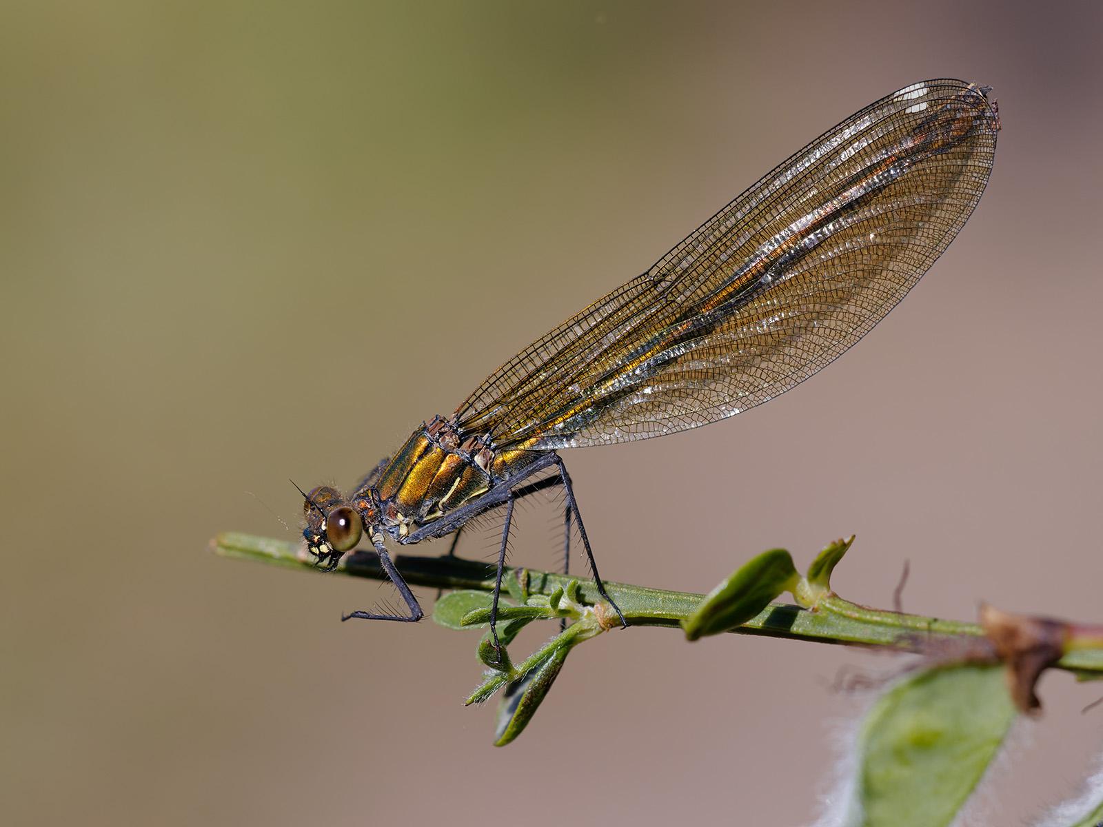 Calopteryx s. splendens, female