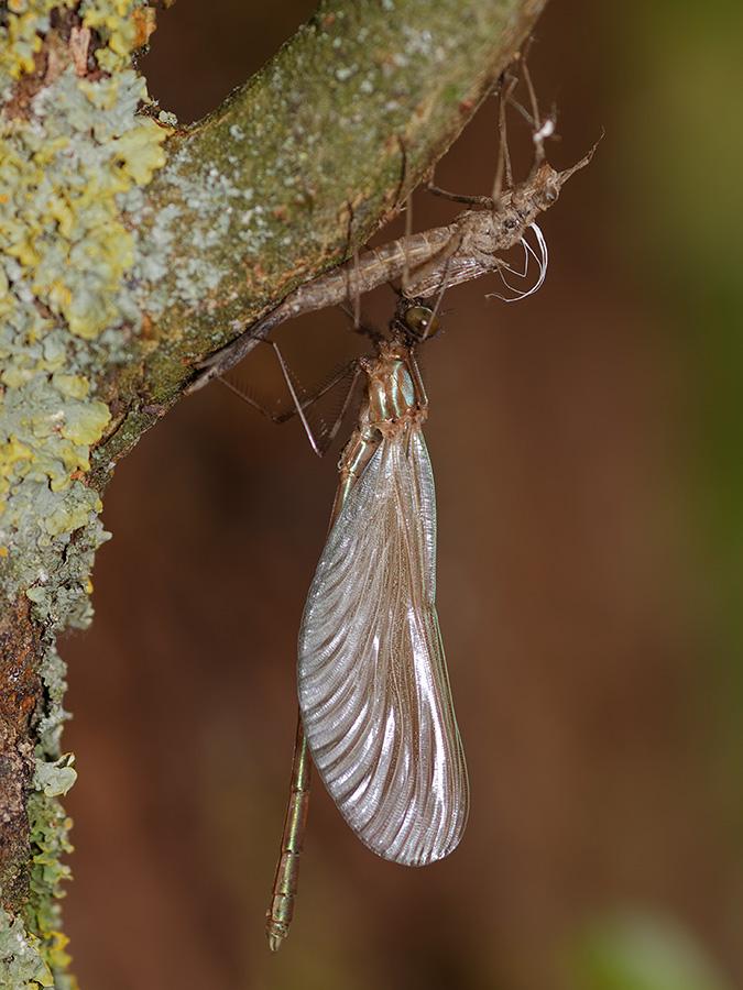 Calopteryx virgo, male, emerging