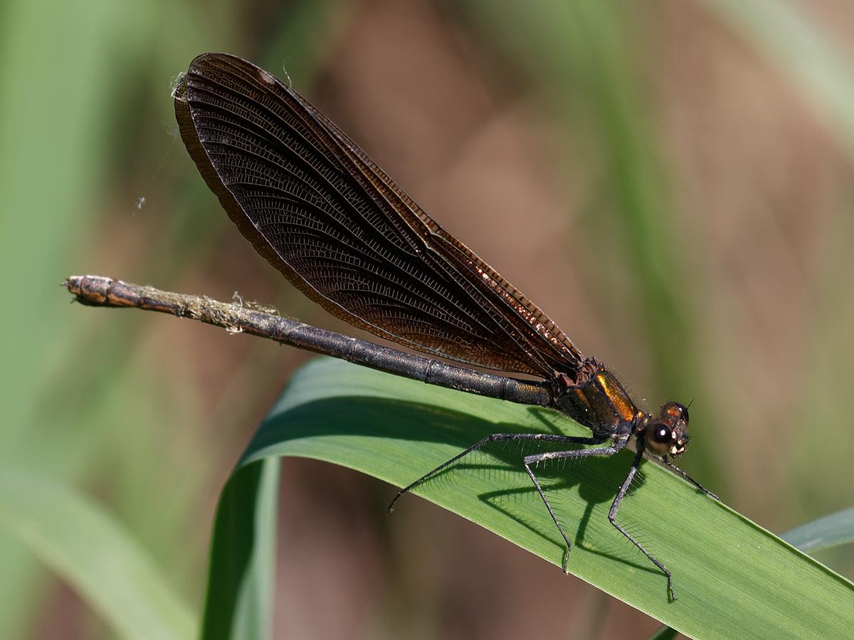 Calopteryx virgo, female