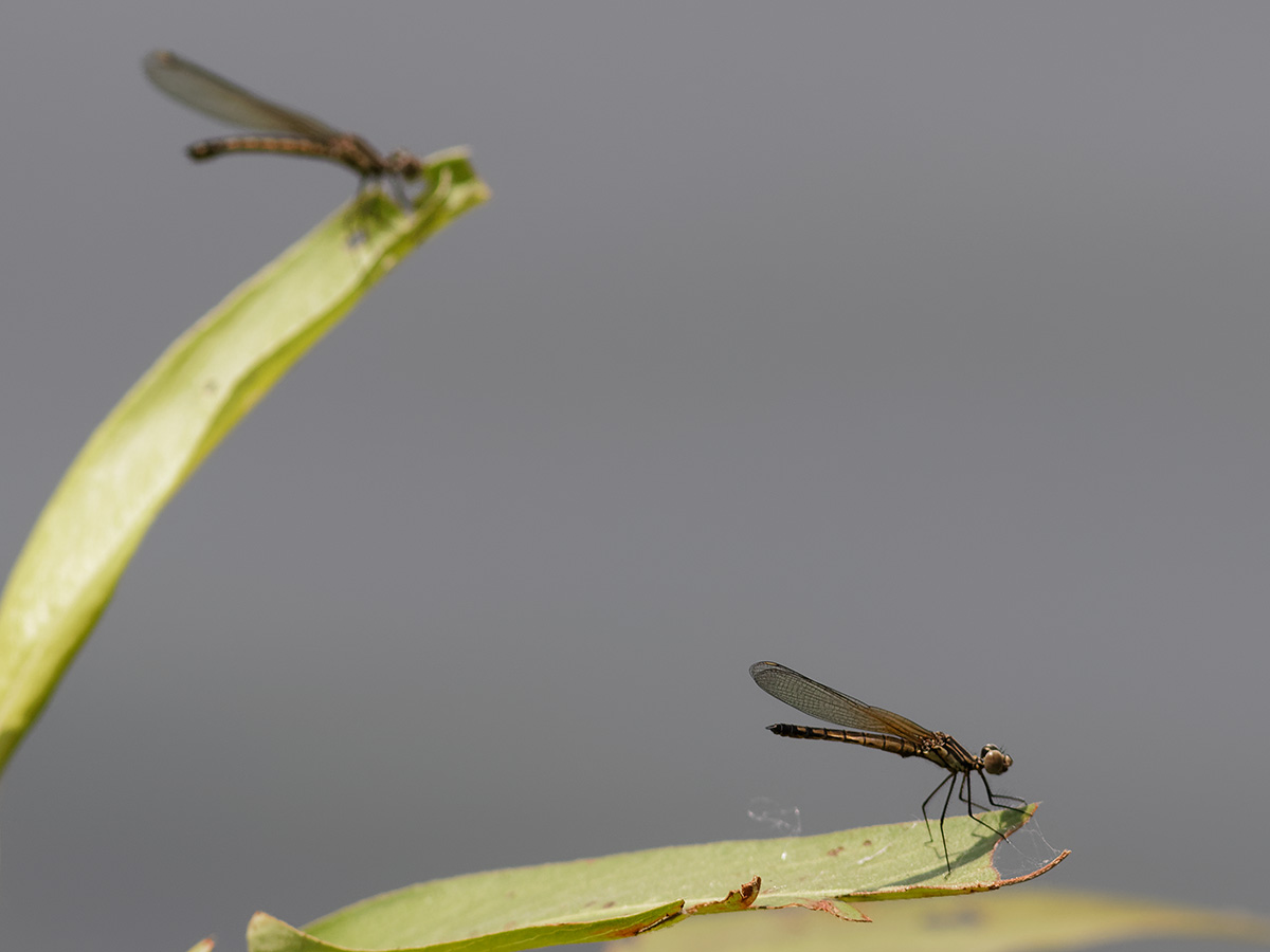 Libellago lineata, immature female and male