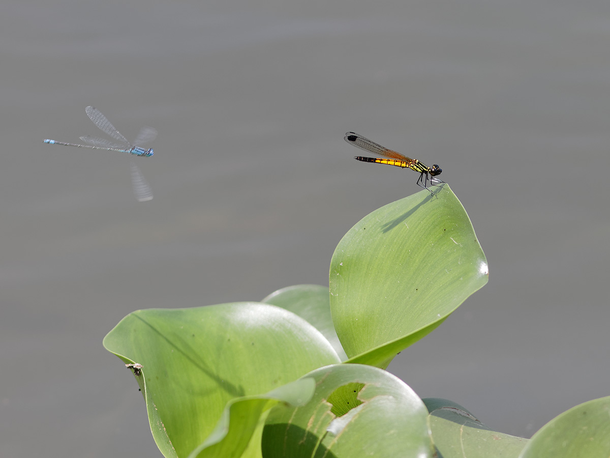 Libellago lineata and Pseudagrion spencei, males