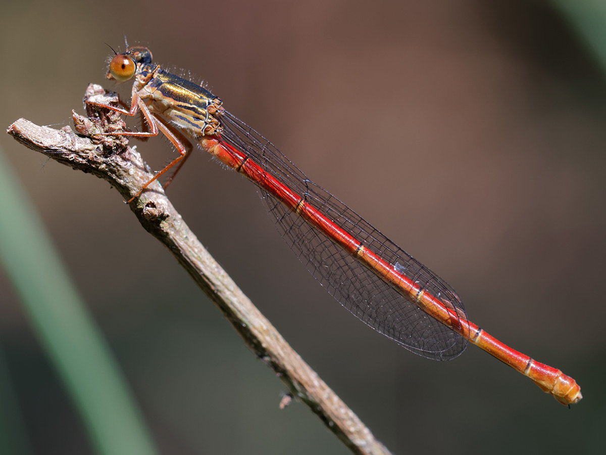 Ceriagrion tenellum, female f. erythrogastrum