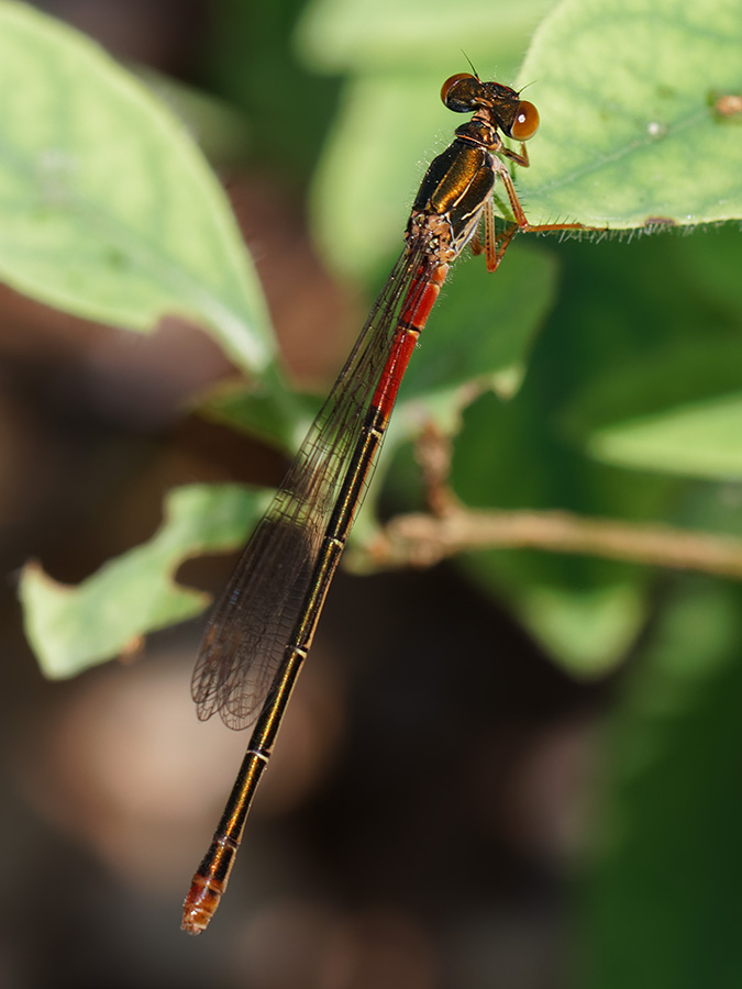 Ceriagrion tenellum, female f. typica