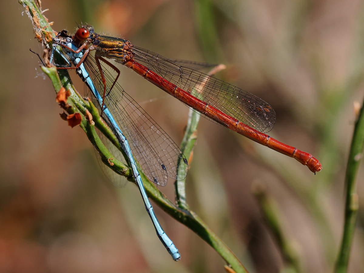 Ceriagrion tenellum, female f. erythrogastrum eating Coenagrion puella