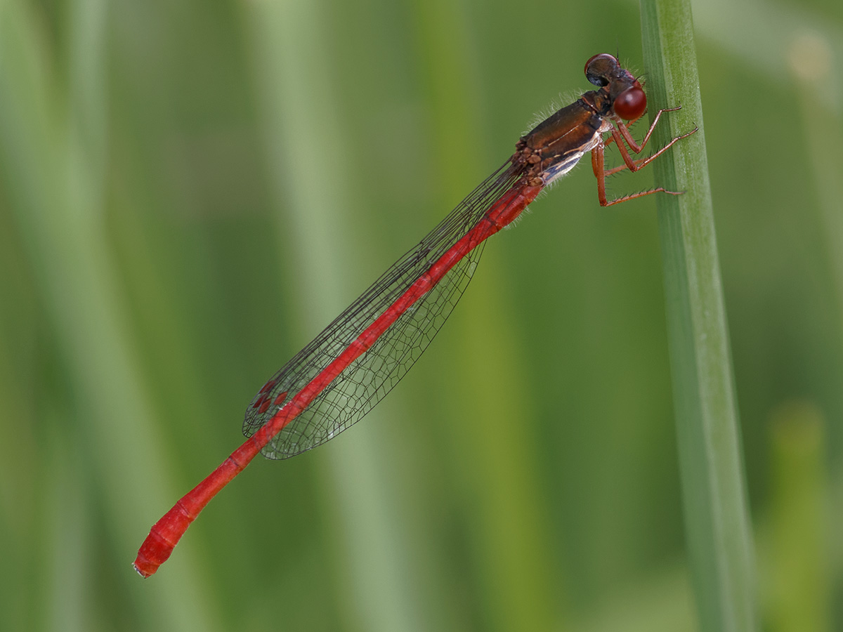 Ceriagrion tenellum, male