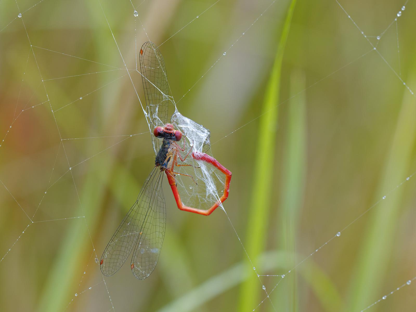 Ceriagrion tenellum, male caught in spider web
