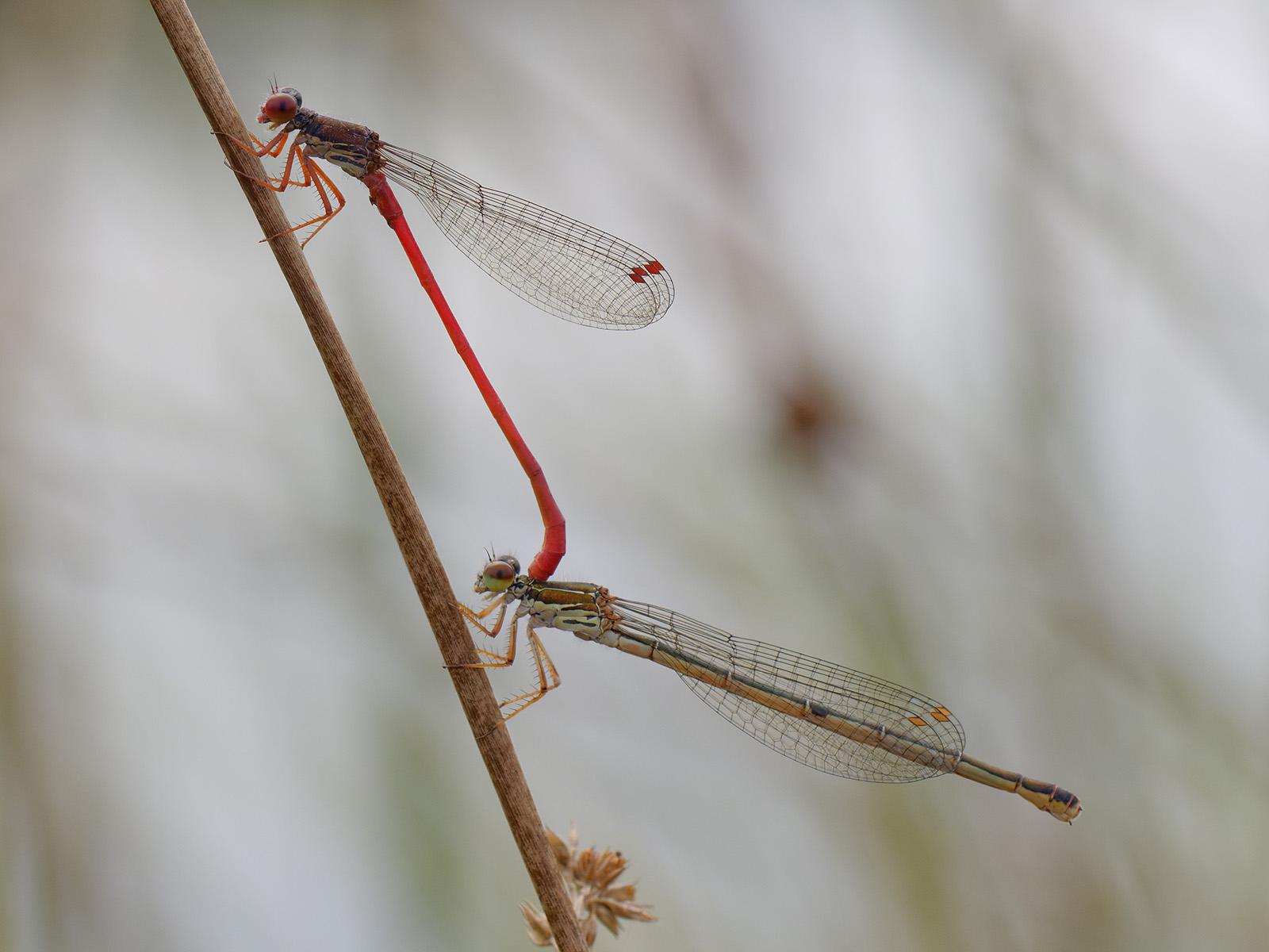 Ceriagrion tenellum, tandem with female f. melanogaster